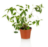 Ficus Benjamin in flowerpot, isolated on white — Stock Photo