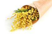 Blumenstrauß mimosa, isoliert auf weiss — Stockfoto