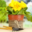Beautiful yellow primula in flowerpot on wooden table on green background - Stock Photo