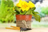 Bella primula gialla in vaso di fiori sul tavolo di legno su sfondo verde — Foto Stock