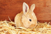 Fluffy foxy rabbit in a haystack on wooden background — Stock Photo