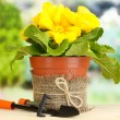 Beautiful yellow primula in flowerpot on wooden table on green background — Stok fotoğraf