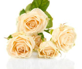 Beautiful creamy roses close-up isolated on white — Stock Photo