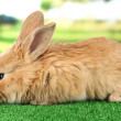 Fluffy foxy rabbit on grass in park - Stock Photo