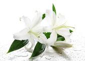 Lírio bonito, isolado no branco — Foto Stock