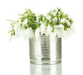 Bouquet of snowdrop flowers in metal can, isolated on white — Stock Photo