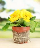 Primula amarelo lindo no vaso de flores na mesa de madeira sobre fundo verde — Fotografia Stock