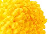 Helder gele chrysanthemum, geïsoleerd op wit — Stockfoto