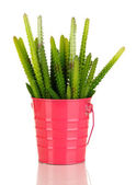 Cactussen geïsoleerd op wit — Stockfoto