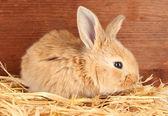 木製の背景に干し草のふわふわフォクシー ウサギ — ストック写真
