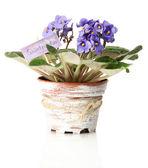 植木鉢、白で隔離されるで明るいセントポーリア — ストック写真