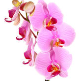 Gentle beautiful orchid isolated on white — Stock Photo