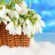 Spring snowdrop flowers in wicker basket with snow, on bright background — Stock Photo