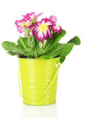 Beautiful pink primula in — Stock Photo