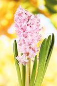 Belo jacinto, no fundo brilhante — Foto Stock