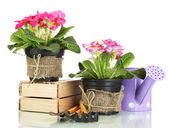 Beautiful pink primula in flowerpots and gardening tools, isolated on white — Stock Photo