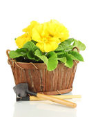 Beautiful yellow primula in basket, isolated on white — Stock Photo