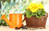 Beautiful yellow primula in basket on wooden table on green background — Stock Photo