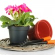 Beautiful pink primula in flowerpot and gardening tools, isolated on white — Stock Photo