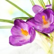 Beautiful purple crocuses on snow, on green background — Stock Photo