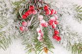 雪で覆われているトウヒとナナカマドの果実 — ストック写真