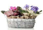 Bright saintpaulias in basket, isolated on white — Stock Photo
