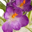Beautiful purple crocuses on snow, close up - Stock Photo