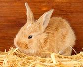 Pluizig foxy konijn in een hooiberg op houten achtergrond — Stockfoto