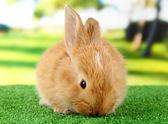 ふわふわフォクシー ウサギ公園の芝生の上 — ストック写真