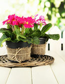 Beautiful pink primulas in flowerpots, on wooden table, on green background — Stock Photo