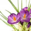 Постер, плакат: Beautiful purple crocuses close up