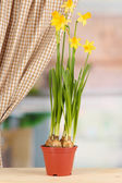 Beautiful yellow daffodils in flowerpot on window background — Stock Photo
