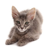 Small gray kitten isolated on white — Stock Photo