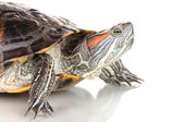 Red ear turtle isolated on white — Stock Photo