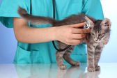 Veterinarian examining a kitten on blue background — Stock Photo