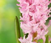 Schöne hyazinthe, auf hellem hintergrund — Stockfoto