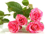 Beautiful pink roses close-up isolated on white — Stock Photo