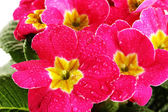 Beautiful pink primula, close up — Stock Photo
