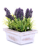 Beautiful lavender in wooden pot isolated on white — Stock Photo