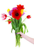 Beautiful tulips in hand isolated on white — Stock Photo