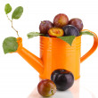 Stock Photo: Rip plums in watering cisolated on white