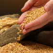 Man hands with grain, on brown background — Stock Photo
