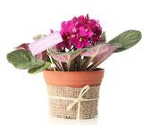 Bright saintpaulia in flowerpot, isolated on white — Stock Photo