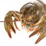 Alive crayfish on white background close-up — Stock Photo #23187070