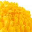 Stock Photo: Bright yellow chrysanthemum, isolated on white