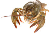 Alive crayfish on white background close-up — Stock Photo