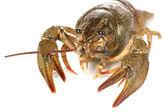 Alive crayfish on white background close-up — Stock Photo