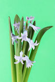 Beautiful hyacinth, on color background — Stock Photo