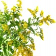 Sprigs of mimosa isolated on white - Foto de Stock