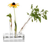 Test-tubes with a transparent solution and the plant isolated on white background close-up — Stock Photo